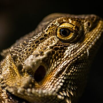 Bearded Dragon by AndyBeattie