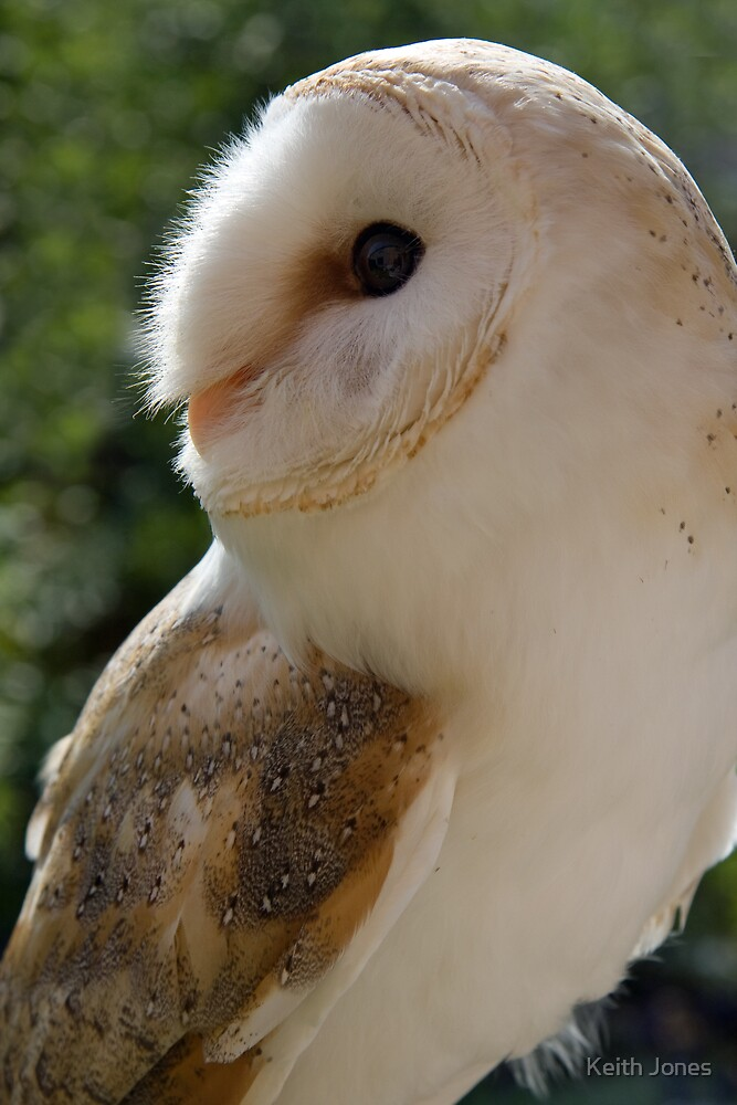Barn owl 2 by Keith Jones