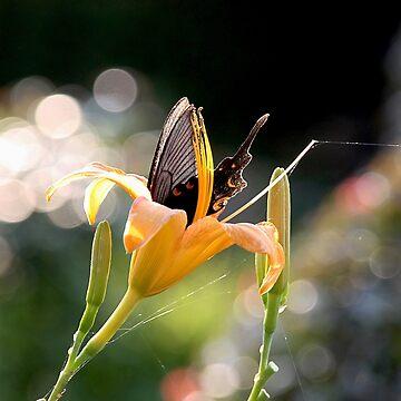 Black Butterfly In Orange Flower by Goudvissie