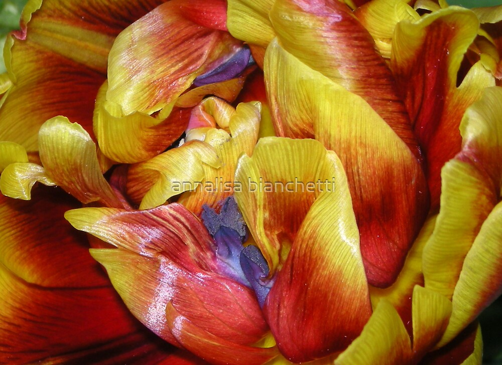 One special tulip for Tina by annalisa bianchetti
