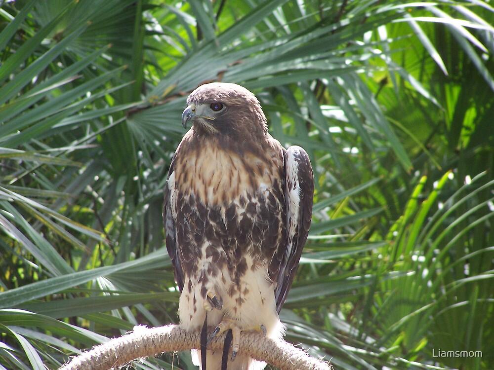 Hawk by Liamsmom