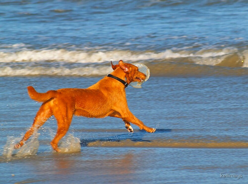 Dog with Frisbee running out into the ocean by kellimays
