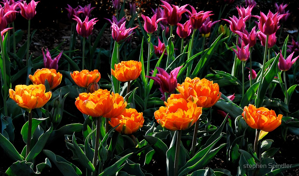 Orange and Purple Tulips by stephen Spindler