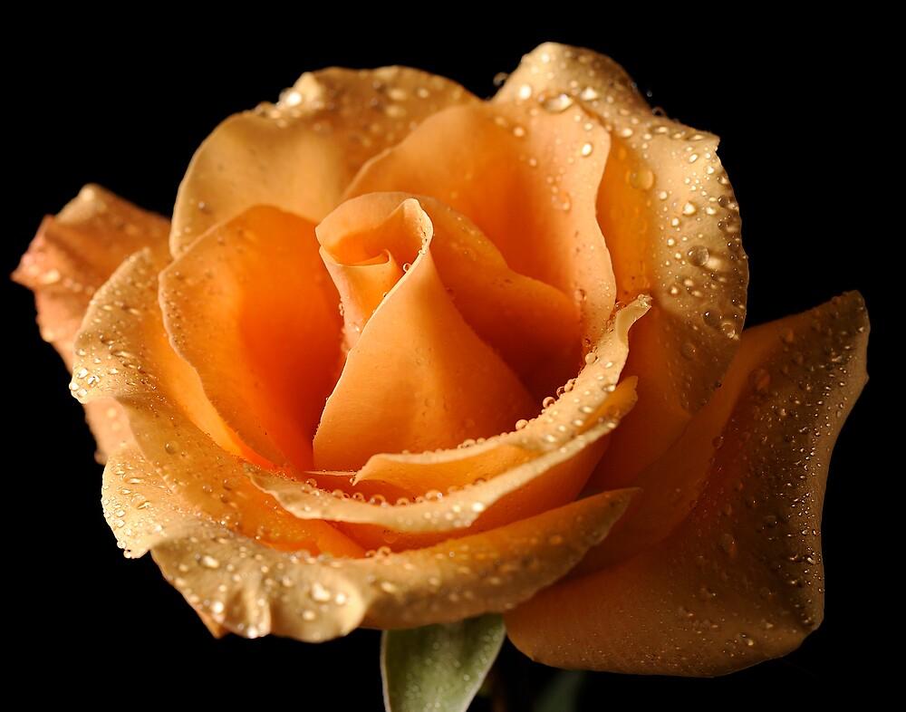 Bella Rosa 2 by George DeLoache