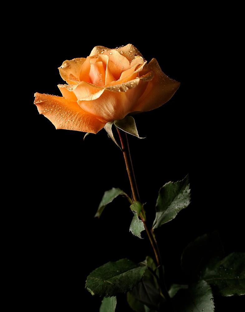 Bella Rosa 3 by George DeLoache