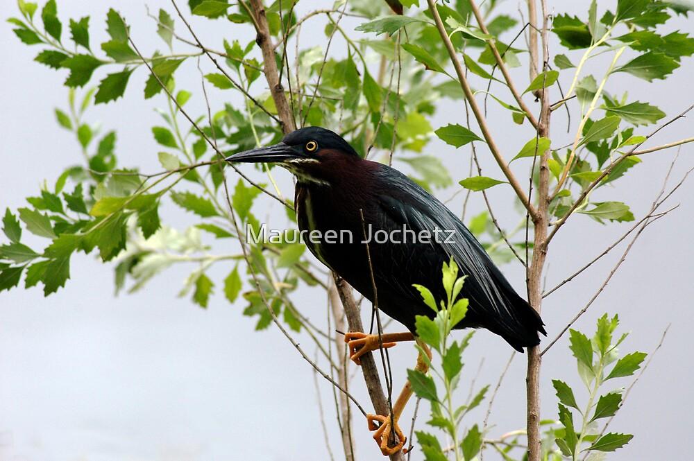 Green Heron by Maureen Jochetz