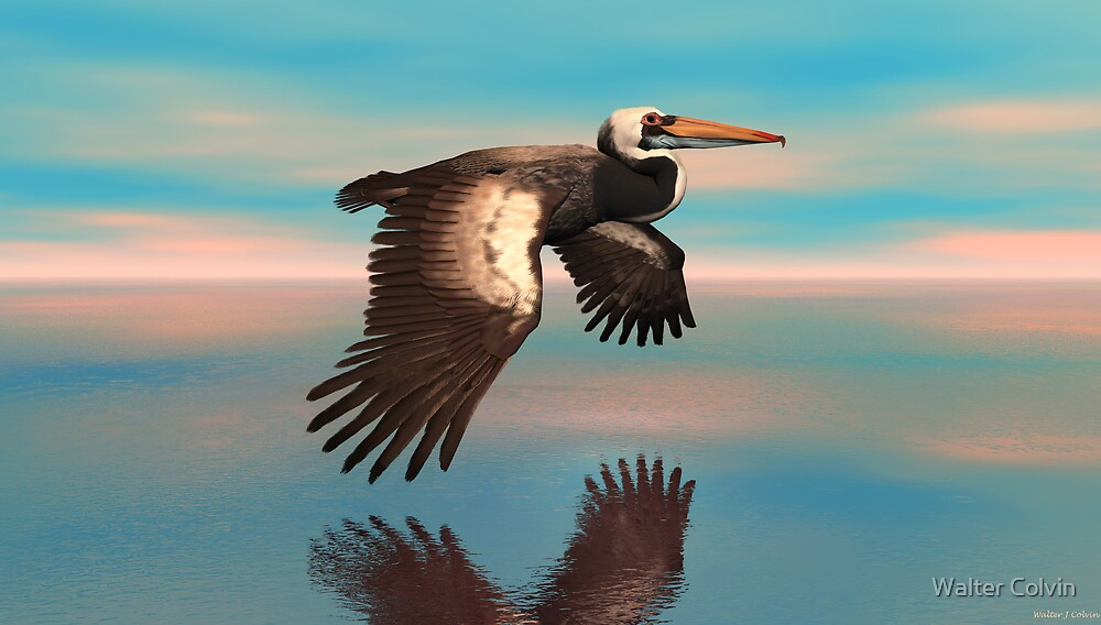 Peruvian Pelican by Walter Colvin