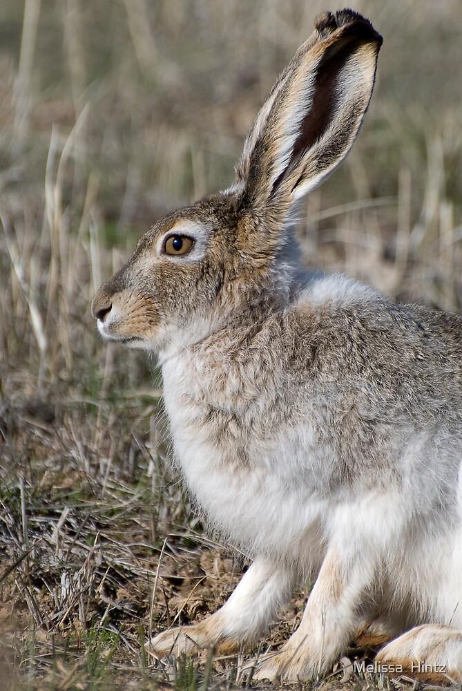 Jack Rabbit II by Melissa  Hintz