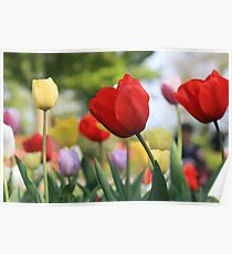 Tulips of keukenhof Holland Poster