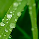 Dew drips on a grass halm by xophotography