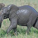 Baby Elephant Walk, Tarangire National Park, Tanzania by Adrian Paul