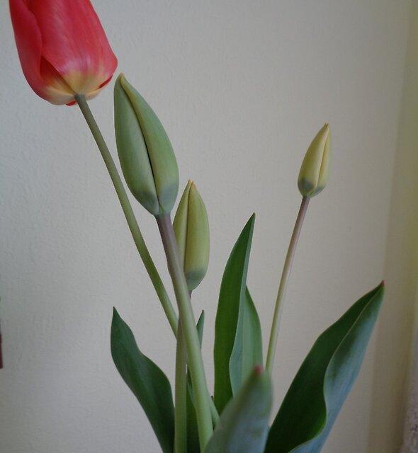 Buds of tulips by Ana Belaj