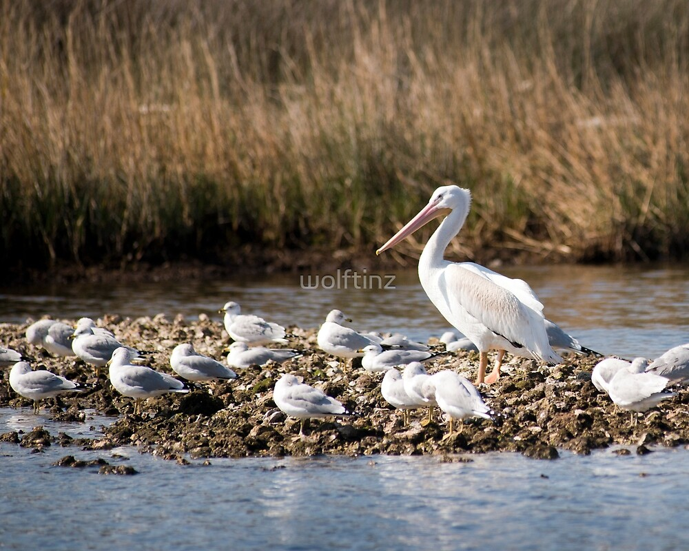 """White Pelican and his """"Groupies"""" by wolftinz"""