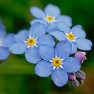 Forget me not by xophotography