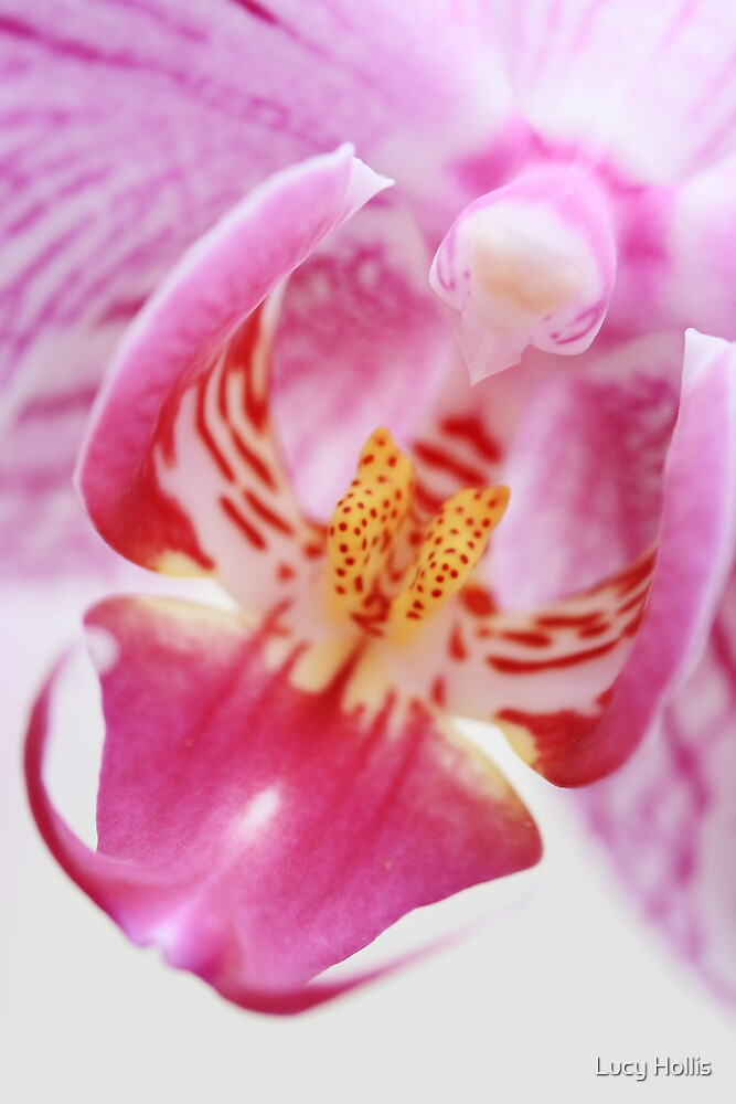 Orchid Pinks by Lucy Hollis