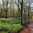 Bluebell Path at Bull Run by Cecilia Carr