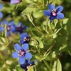 Blue-scarlet Pimpernel by cuprum