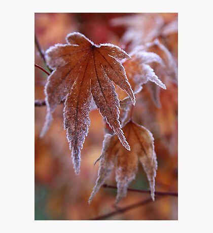 Frosted Maple Leaf Photographic Print