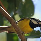 Crested Shrike-tit by triciaoshea