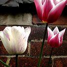 Tulips by karenkirkham