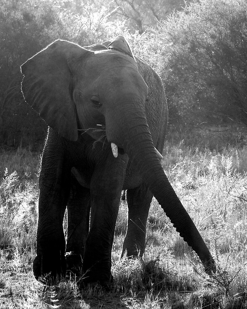 Safari - Elephant Arrival by rabeeker