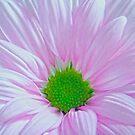 Pink Spring Beauty 2 by hurmerinta
