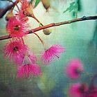 Gum Blossoms by Cloudlingpics