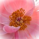 Paeonia by Bente Agerup