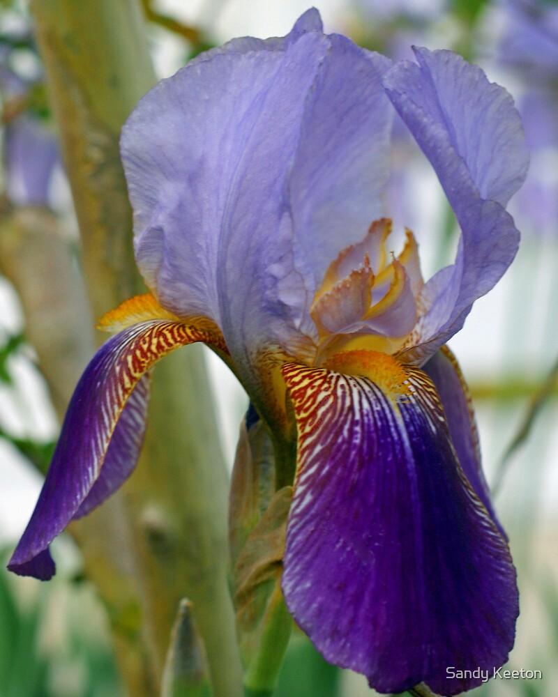 Bi-Colored Iris by Sandy Keeton