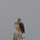 Young Swainson Hawk 01 by janetmarston
