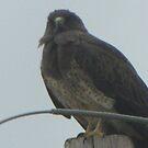 Swainson Hawk 02 by janetmarston