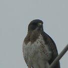 Swainson Hawk 03 by janetmarston