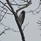 Male Hairy Woodpecker by janetmarston