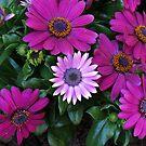 Schattierungen von Pink - Vibrant Cape Daisies von BlueMoonRose