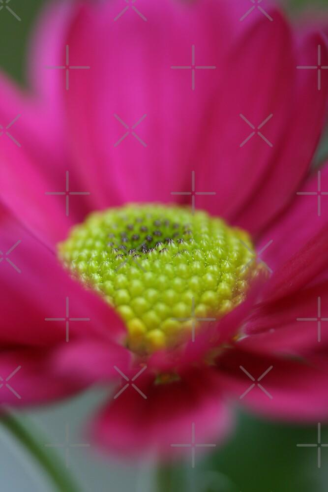 Hot Chrysanthemum by Joy Watson