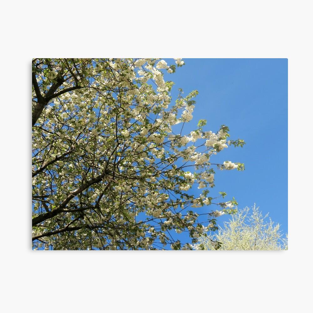 Weiße Blüten des Frühlings Metallbild
