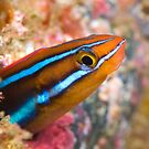 Fang blenny  by Stephen Colquitt
