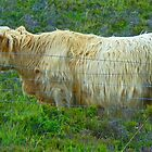 Highland Cow on Skye by Graeme  Hyde