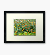 A bed of beautiful yellow and orange marigolds Framed Print