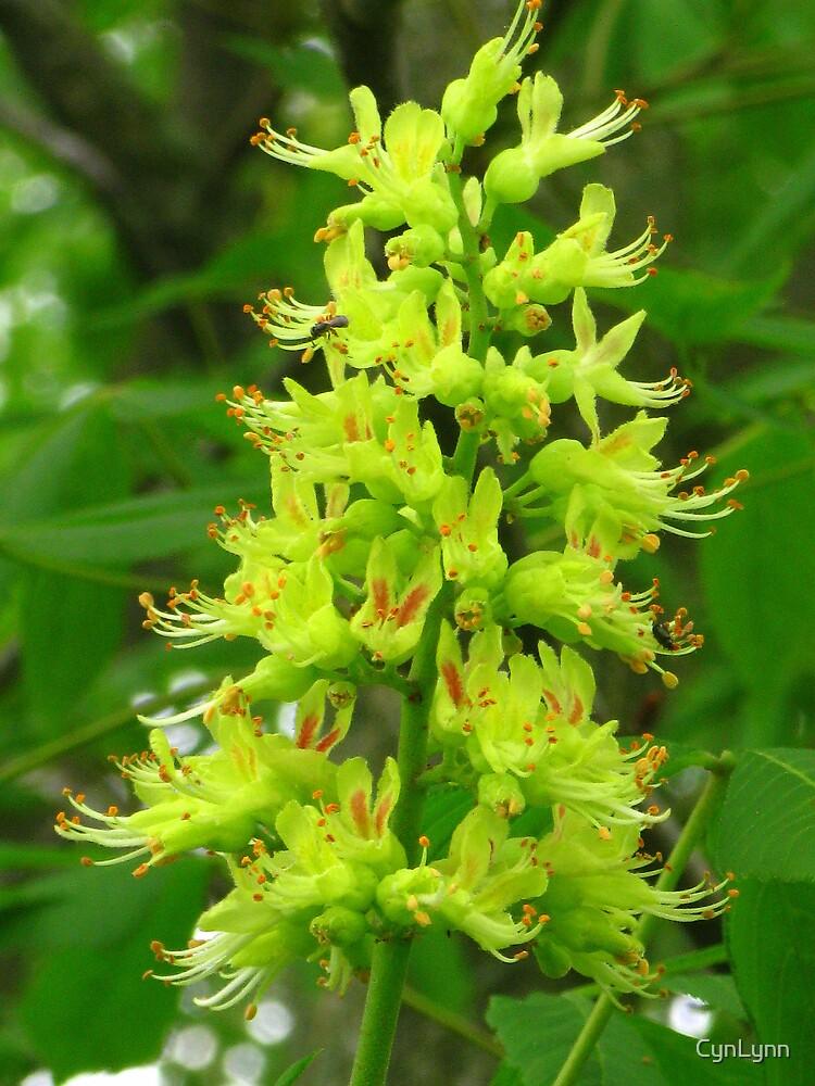 Ohio Buckeye Tree Bloom by CynLynn