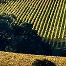 Vineyard by prbimages