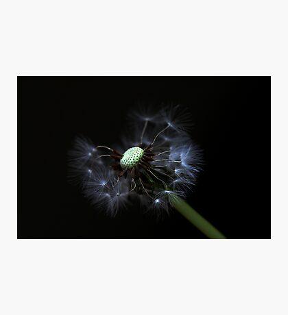 full dandelion Photographic Print