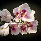 Orchid Branch by Svetlana Korneliuk