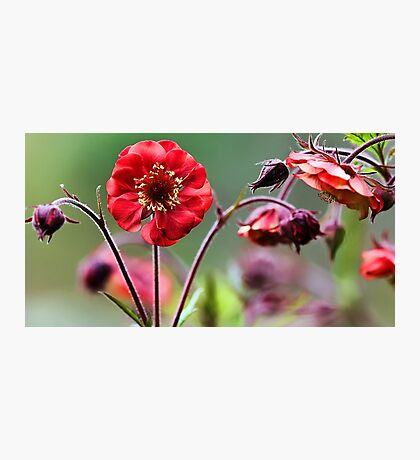 Geum Blossoms - Flame of Passion Photographic Print