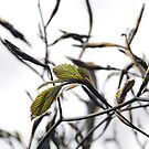 Beech buds bursting by Cantus