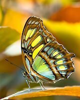 malachite butterfly by peterwey