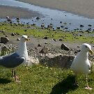 seagulls stopping for a visit by memaggie