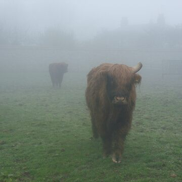 Highland cattle in the mist by Tanya68