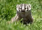 Moment of badger by Anthony Brewer