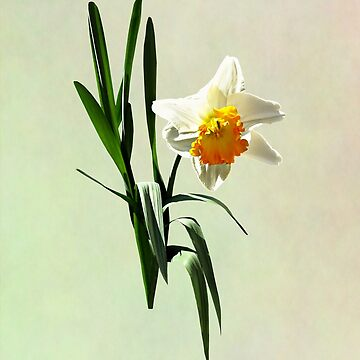 Daffodil Taking a Bow by SudaP0408